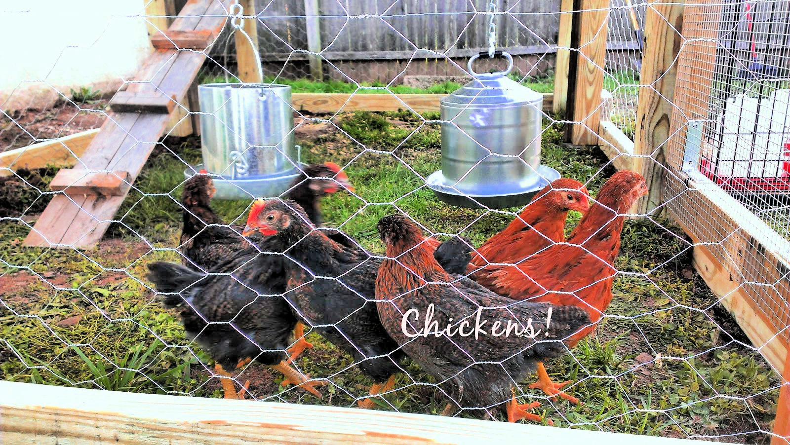 Chickens in their new house